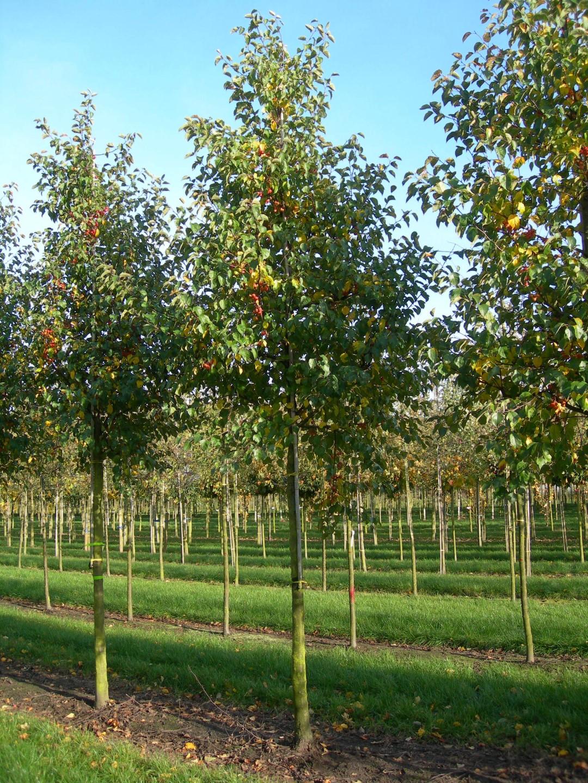 Malus 'Evereste'   Zier Apfel   Van den Berk Baumschulen