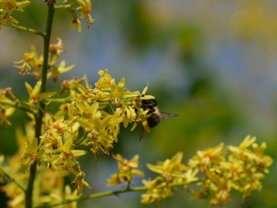 Koelreuteria Paniculata-s 8 Groot