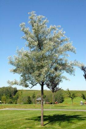 Bomen Voor Kustgebieden 4